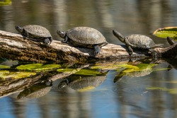 Closeup of european pond turtles sunbathing on a piece of wood in a pond