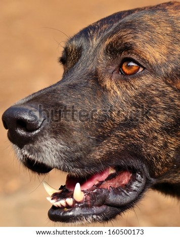 Closeup of face and snout of magnificent canary dog staring with open mouth and showing its large tusks, on unfocused natural background