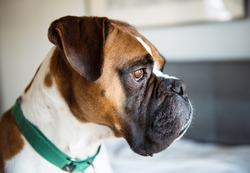 Closeup of Fawn Colored Pure breed Boxer Dog Looking Outside
