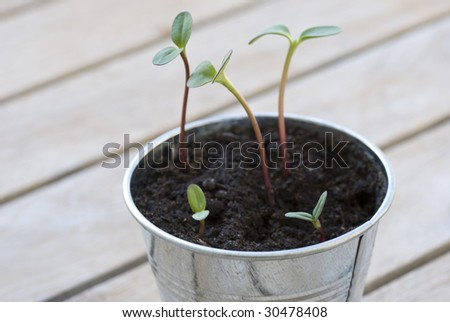 Closeup of five sunflower sprouts in a pot. Can be used as  a symbol for beginning of life, or growing up, The image has a shallow DOF