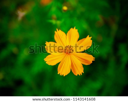 Closeup of flower,many common names, Sulfur Cosmos, Orange cosmos, Yellow Cosmos, Yellow Star Flower blooms during summer in the public park garden. selective focus,blurry green field background.