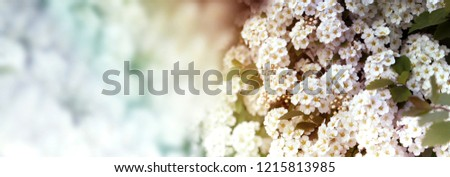 Closeup of flowering shrub bridal wreath spirea floral background.dewy flowering shrub bridal wreath spirea, floral background.Spirea bushes bloom in the spring in May - Shutterstock ID 1215813985