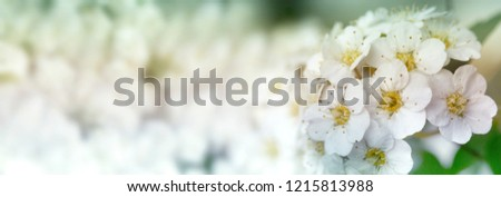 Closeup of flowering shrub bridal wreath spirea floral background.dewy flowering shrub bridal wreath spirea, floral background.Spirea bushes bloom in the spring in May - Shutterstock ID 1215813988