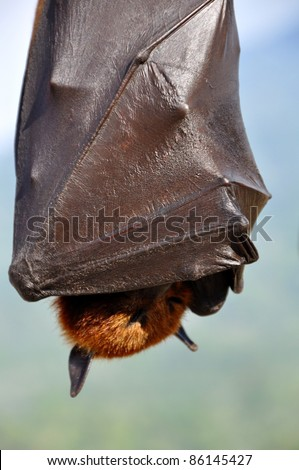 closeup of flying fox bat hanging on tree