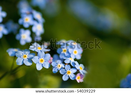 Closeup of Forget-me-nots in the garden