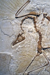 closeup of fossilized scary petrified Archaeopteryx transitional fossil between dinosaur and modern birds remains in stone with details of the skeleton with skull and bones