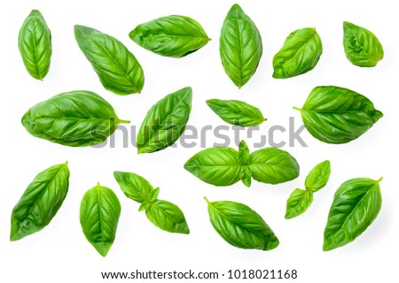 closeup of fresh basil isolated on white - Shutterstock ID 1018021168
