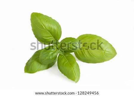 Closeup of fresh basil sprig on a white background. - stock photo