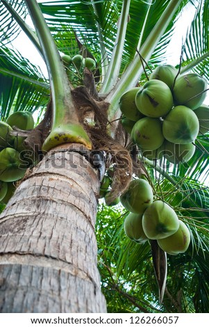 closeup of fresh coconut tree in garden, Thailand