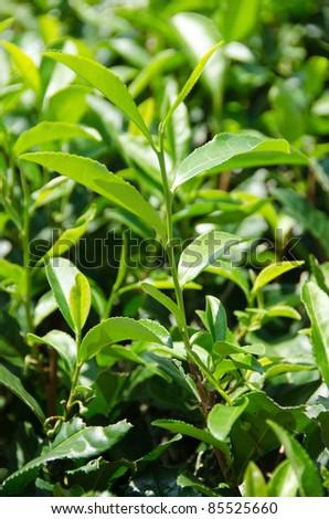 Closeup of fresh green tea leaves on a tea bush in japan