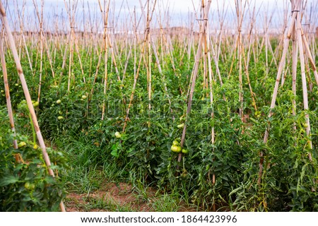 Closeup of fresh green tomatoes ripening on supporting stakes on field. Organic vegetables cultivation Сток-фото ©