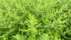 Closeup of fresh growing sweet wormwood (Artemisia Annua, sweet annie, annual mugwort) grasses in the wild field, Artemisinin medicinal plant, natural green grass leaves texture wallpaper background