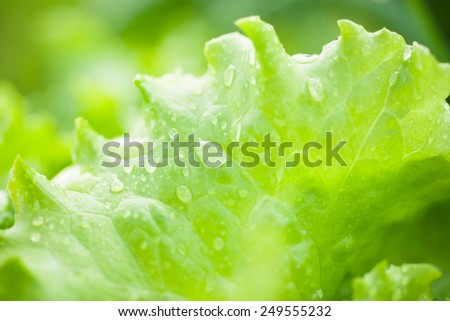 Closeup of fresh lettuce with water drops