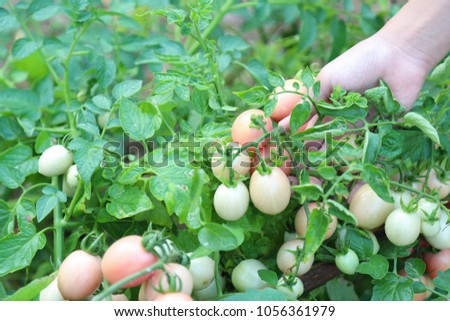 Closeup of fresh organic tomato trees in the garden with girl's hand and natural background. Growing organic vegetables for family healthy food is the simply way of life and self-reliance manner.
