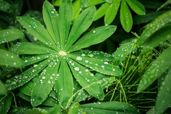 Closeup of fresh vivid green lupine leaves with large water drops after rain or dew, abstract background for flora or garden themes