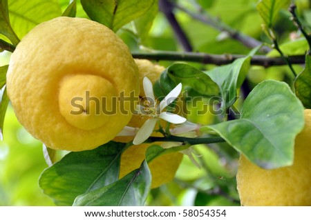 Closeup of fresh yellow lemon fruits with blossoms on the tree