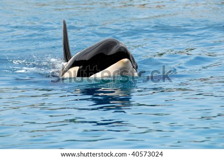 Closeup of front head of a killer whale (Orcinus orca) swimming in blue water