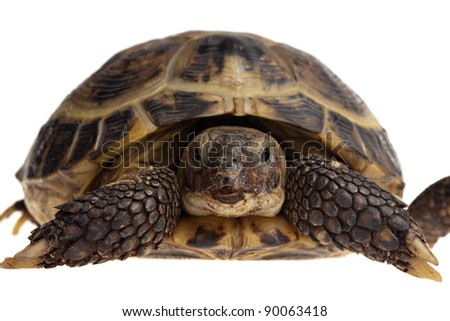 closeup of full size tortoise isolated on white