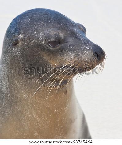 Closeup of Galapagos Sea Lion