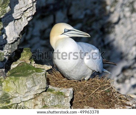 Closeup of Gannet sea bird nesting on cliff.