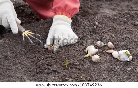Closeup of  gardener sets garlic in soil at field