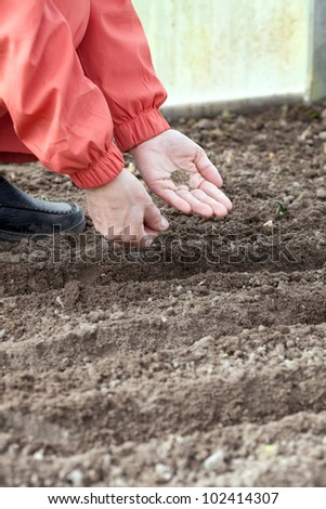 Closeup of gardener  sows seeds in soil at field