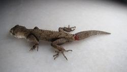 closeup of gecko. lizard will cut its tail. Camouflage Animal, lizards. It's also called Mediterranean house gecko, akdeniz sakanguru, pacific house gecko, wall gecko, house lizard reptile, reptiles.