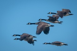Closeup of geese flying in formation