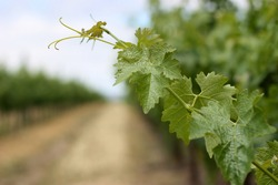Closeup of grape vine leaves in Napa Valley