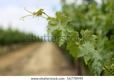 Closeup of grape vine leaves in Napa Valley