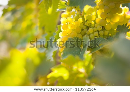 Closeup of grapes growing on a vine