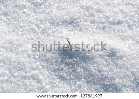 Closeup of grass sprouting through fresh snow on a bright winter day