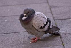 Closeup of gray pigeon bird walking on a city street searching food.