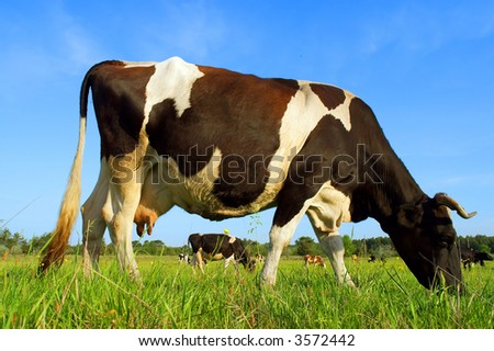 Closeup of grazing dairy cow - in sunset light. Shot in Ukraine.
