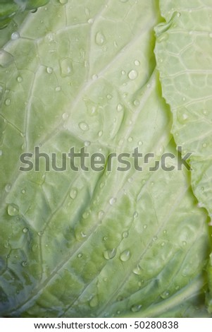 Closeup of green cabbage texture with water drops and selective focus