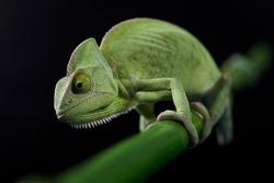Closeup of green chameleon