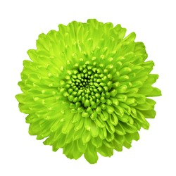 Closeup of green chrysanthemum petals isolated on the white background.