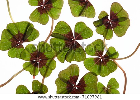 Closeup of green four leaved clover plants on white