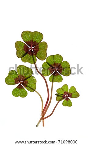 Closeup of green four leaved clover plants on white - stock photo