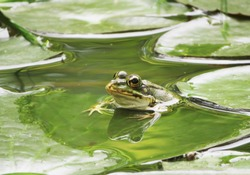 closeup of green frog on a water lily leaf in a pond