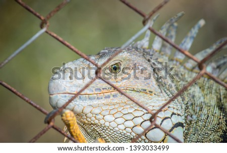 Closeup of green Iguana in the cage, Iguana have strong jaws with razor-sharp teeth and sharp tails. One of the most popular reptile pets in the United States.