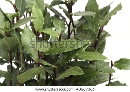 Closeup of green laurel leaves on a laurel bush