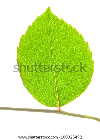 closeup of green leaf on stem isolated on white