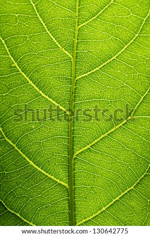 Closeup of green leaf veins