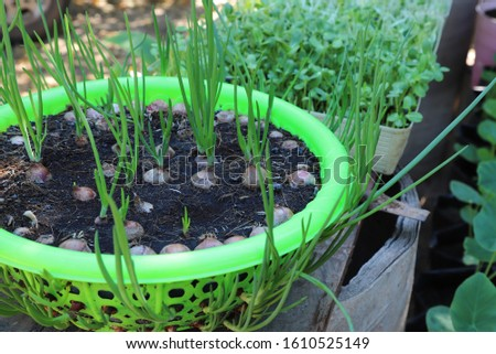 Closeup of green onion plant growing in reused plastic basket in backyard garden. Lovely family activity in self-reliance and sustainable development way. Global friendly practice.
