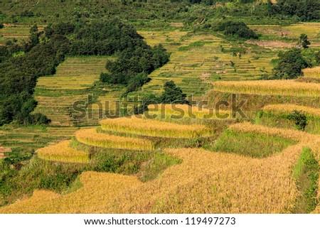 Closeup of green ripe rice terrace field