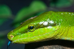 Closeup of green snake, Thailand.