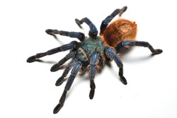 Closeup of greenbottle blue tarantula spider Chromatopelma cyaneopubescens from Venezuela