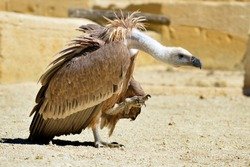 Closeup of griffon vulture (Gyps fulvus) walking on ground seen from profile