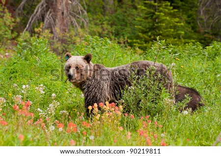 Closeup of grizzly bear feeding on fruits and flowers with small cub behind.